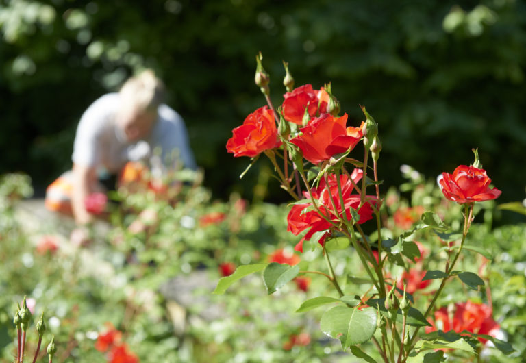 Pflegen Rosenpflege